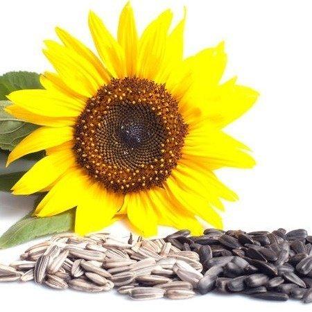 Семечки подсолнуха: состав и полезные свойства, виды семян подсолнечника
